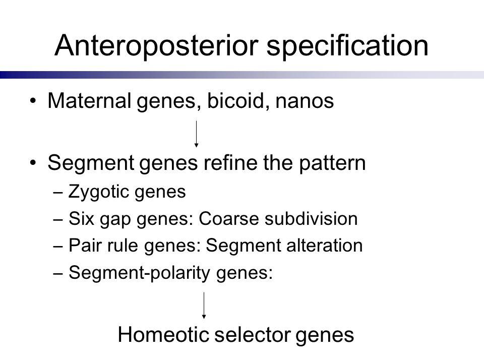 Anteroposterior specification