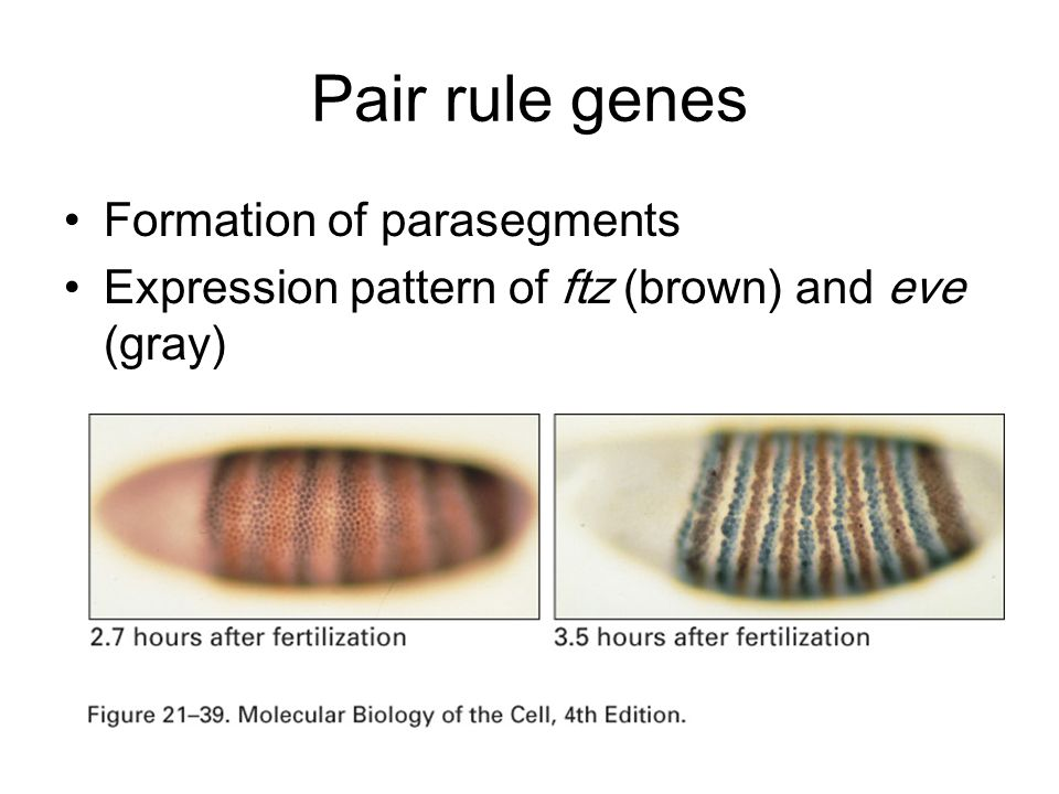 Pair rule genes Formation of parasegments