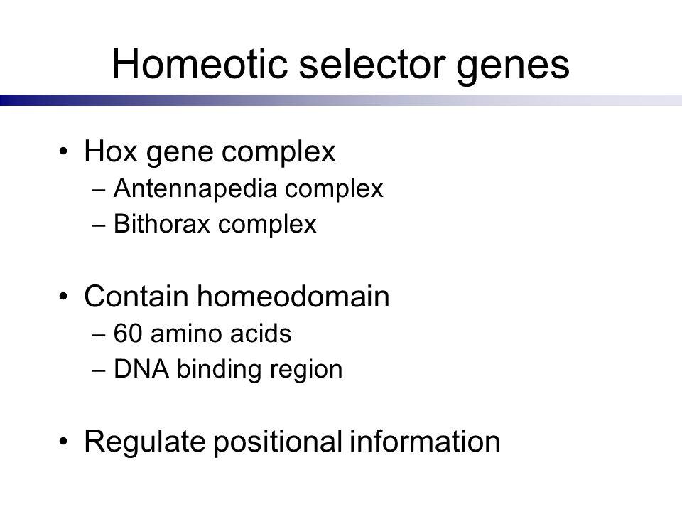 Homeotic selector genes