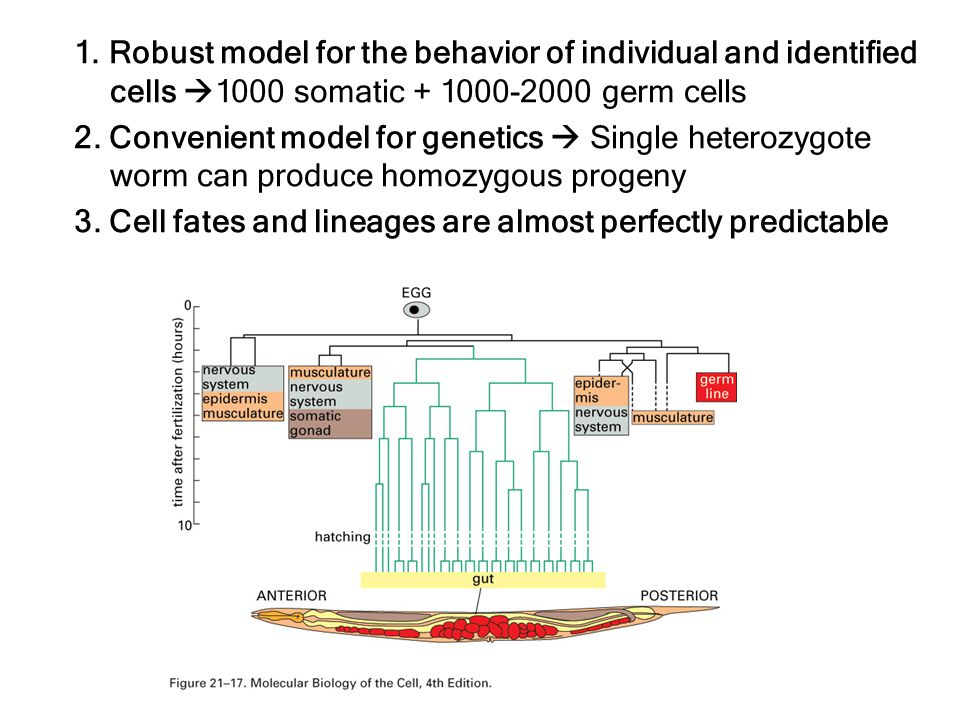 1. Robust model for the behavior of individual and identified cells 1000 somatic + 1000-2000 germ cells