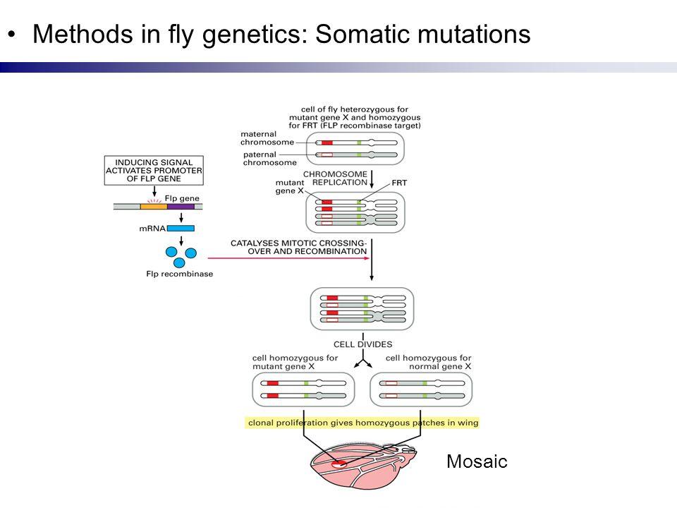 Methods in fly genetics: Somatic mutations