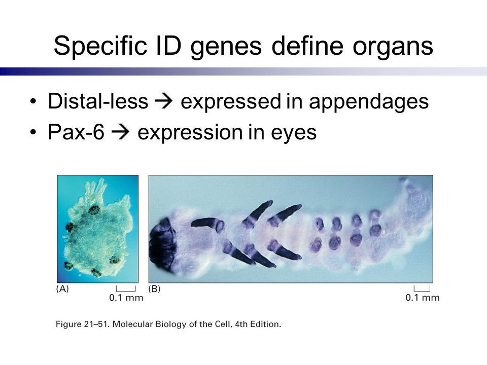 Specific ID genes define organs