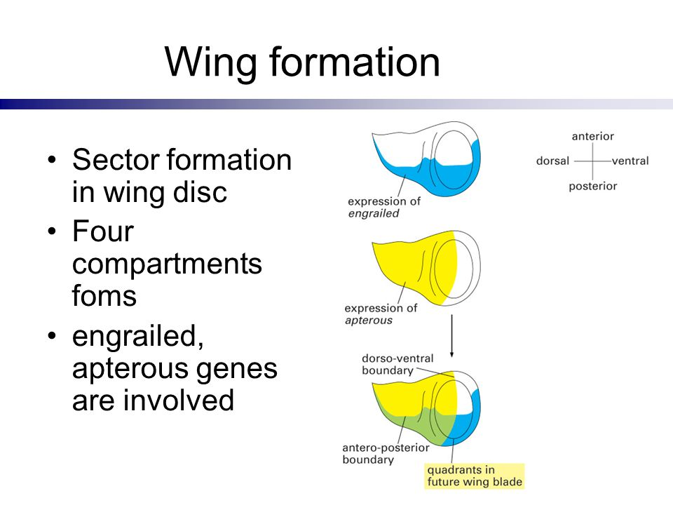 Wing formation Sector formation in wing disc Four compartments foms
