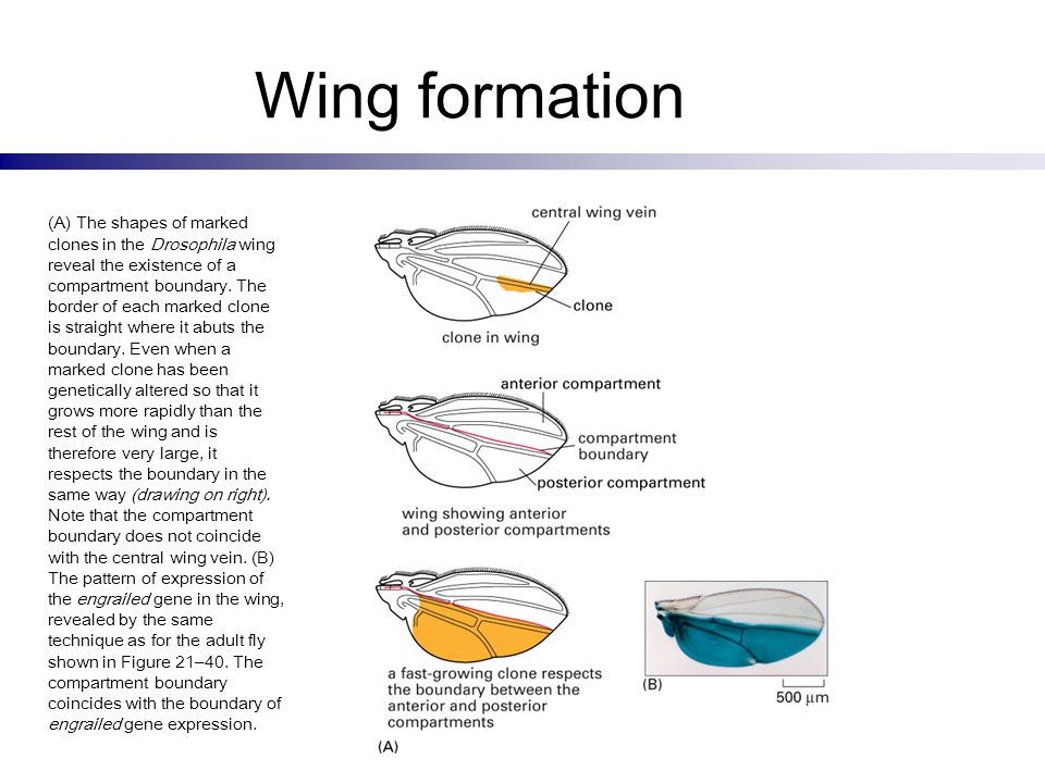 Wing formation