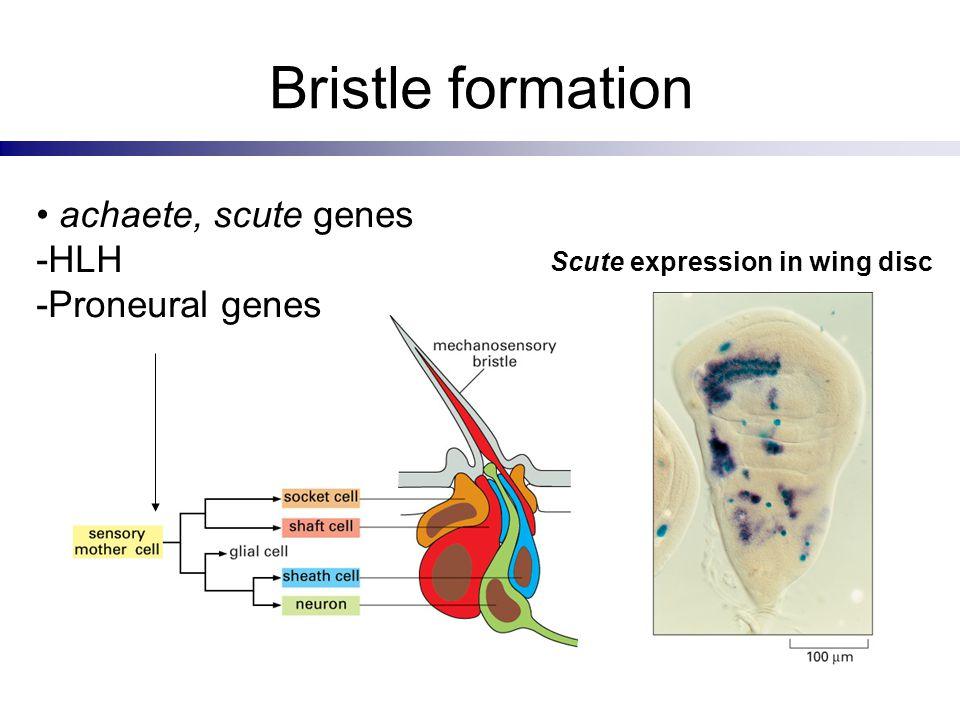 Bristle formation achaete, scute genes -HLH -Proneural genes