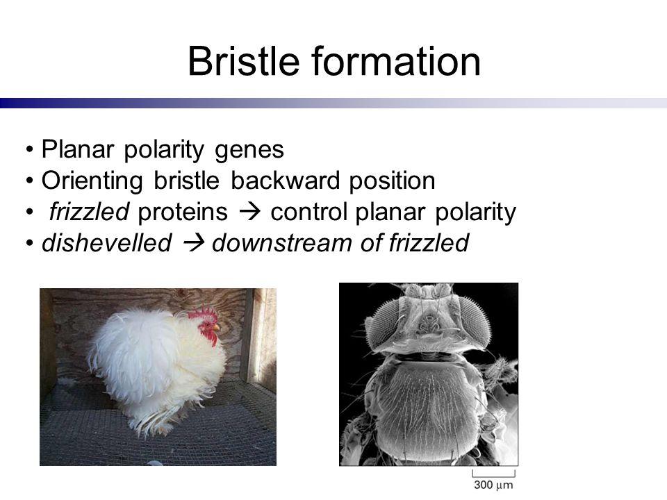 Bristle formation Planar polarity genes