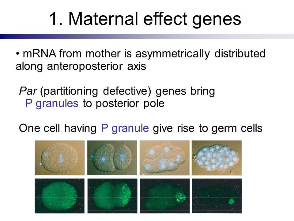1. Maternal effect genes