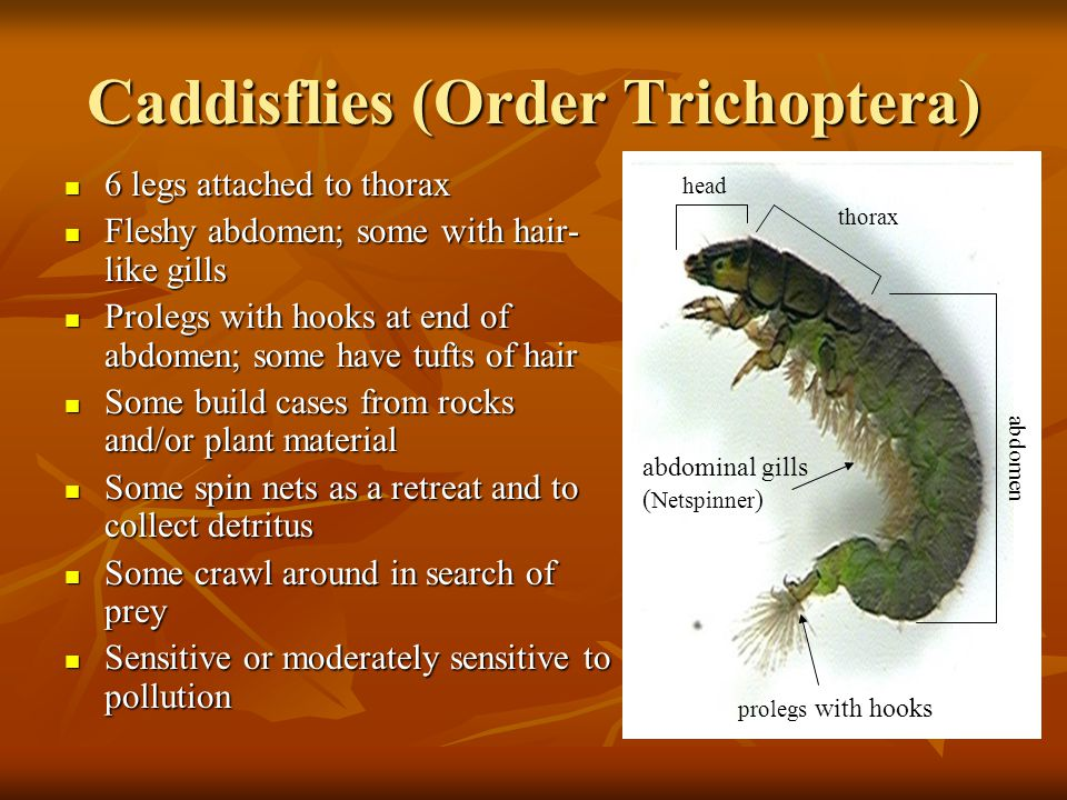 Caddisflies (Order Trichoptera)