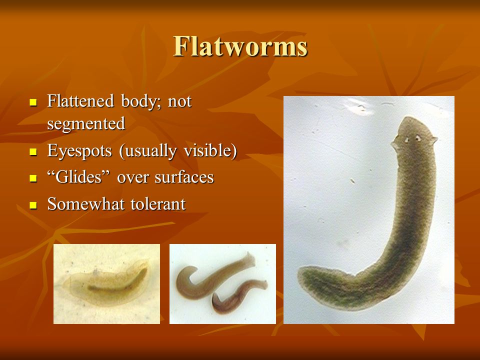 Flatworms Flattened body; not segmented Eyespots (usually visible)