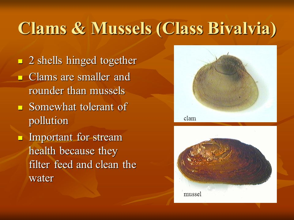 Clams & Mussels (Class Bivalvia)