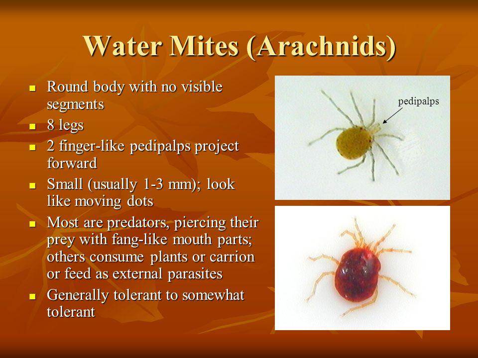 Water Mites (Arachnids)