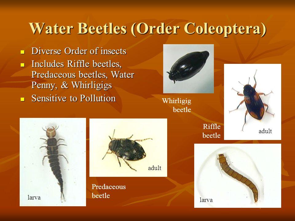 Water Beetles (Order Coleoptera)
