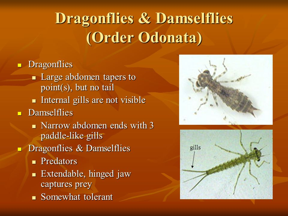 Dragonflies & Damselflies (Order Odonata)