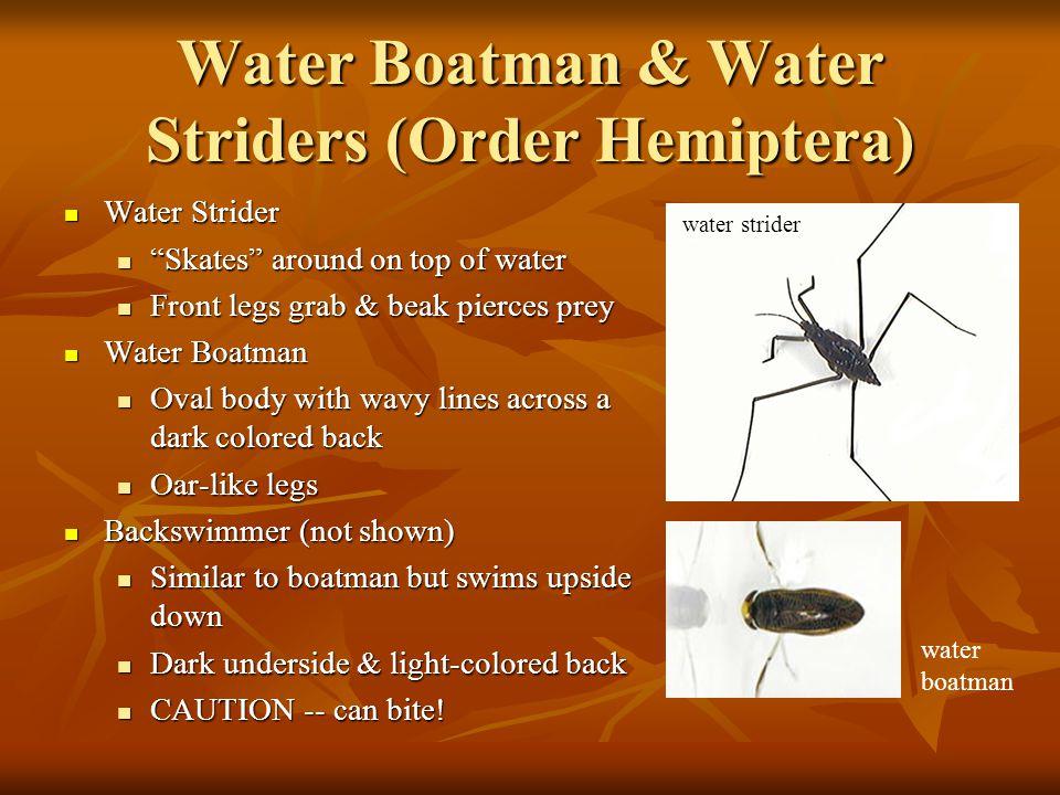 Water Boatman & Water Striders (Order Hemiptera)