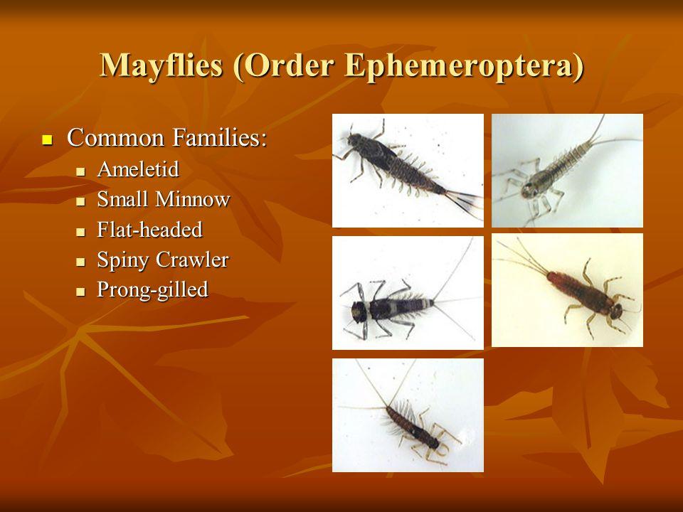 Mayflies (Order Ephemeroptera)