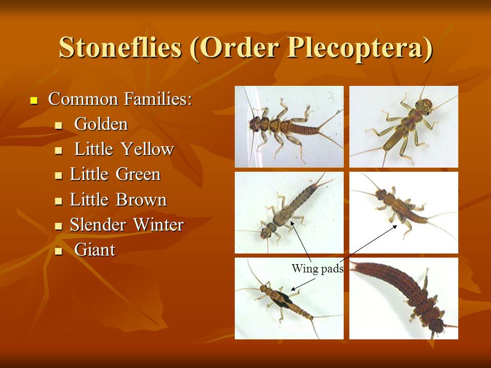 Stoneflies (Order Plecoptera)