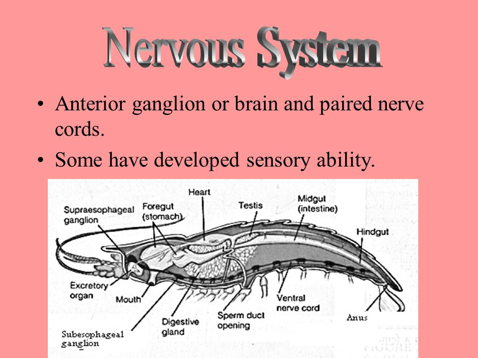 Nervous System Anterior ganglion or brain and paired nerve cords.