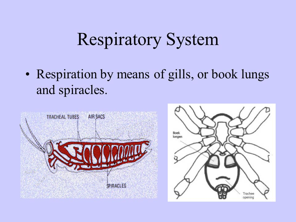 Respiratory System Respiration by means of gills, or book lungs and spiracles.