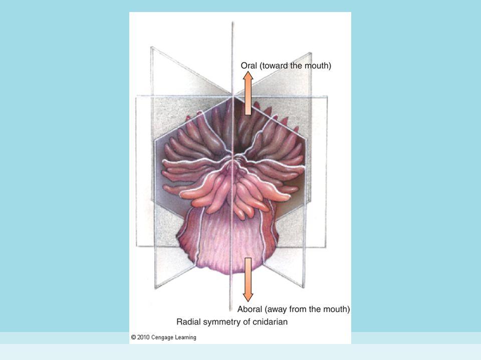 Figure 8-5 (a) CNIDARIAN BODY PLANS.