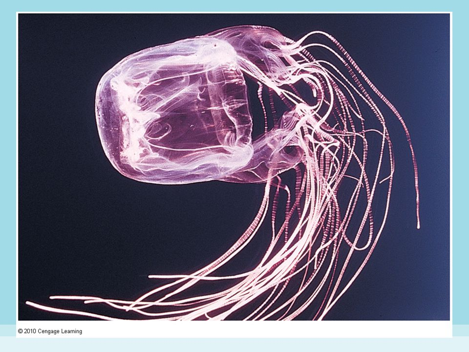 Figure 8-12 BOX JELLYFISH.