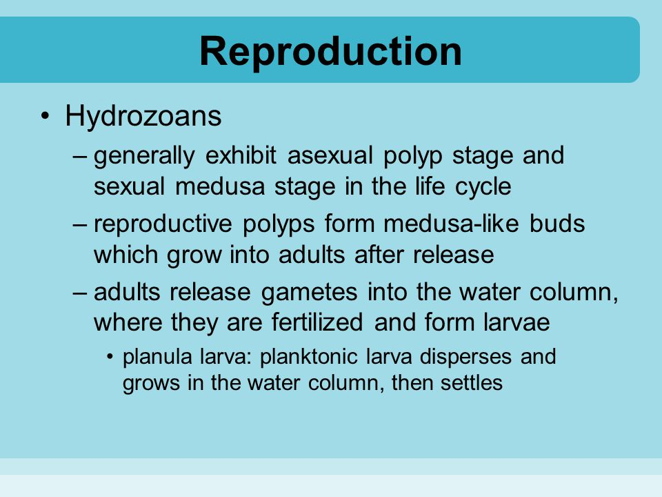 Reproduction Hydrozoans