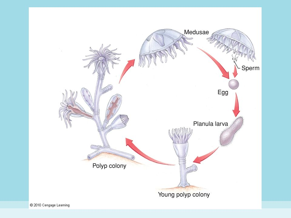 Figure 8-15 LIFE CYCLE OF THE HYDROID OBELIA.