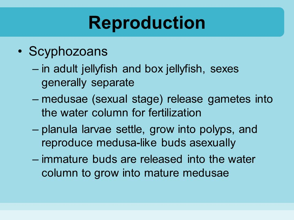 Reproduction Scyphozoans