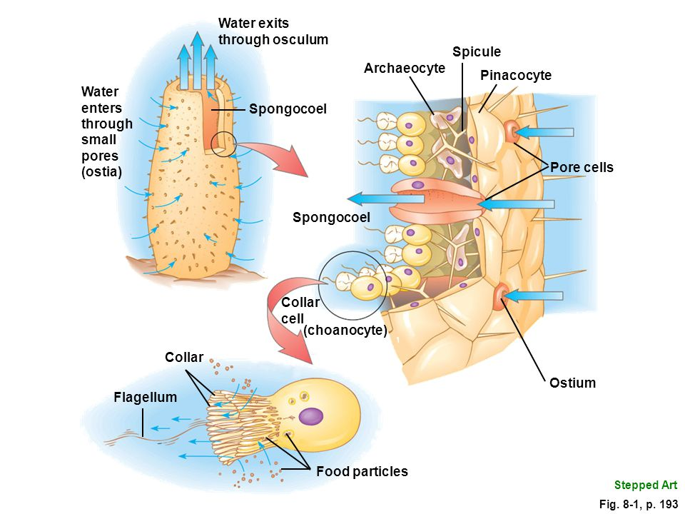 Water exits through osculum Spicule Archaeocyte Pinacocyte Water