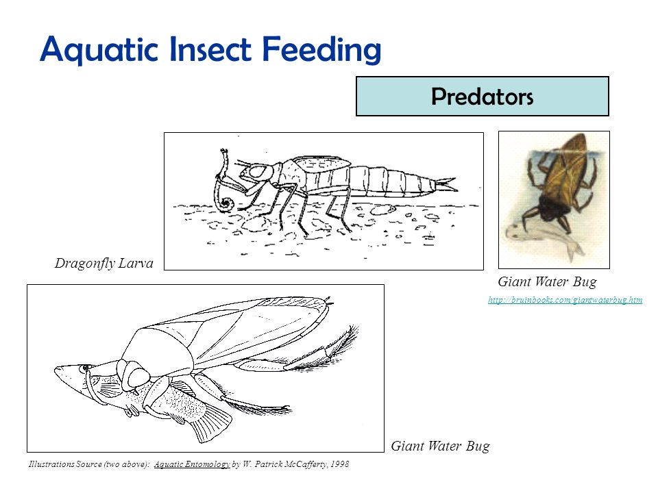 Aquatic Insect Feeding