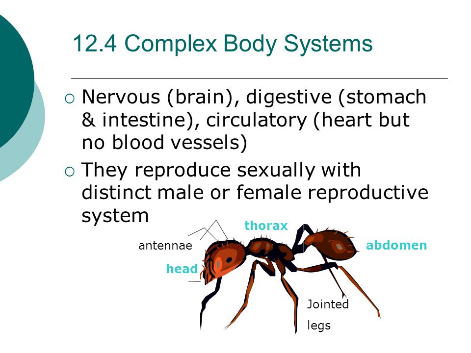 12.4 Complex Body Systems Nervous (brain), digestive (stomach & intestine), circulatory (heart but no blood vessels)
