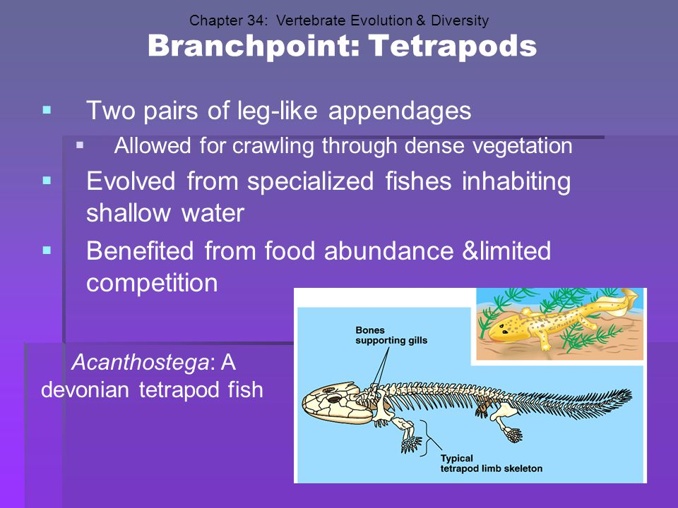 Branchpoint: Tetrapods