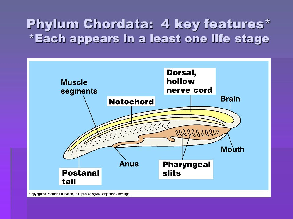 Phylum Chordata: 4 key features* *Each appears in a least one life stage
