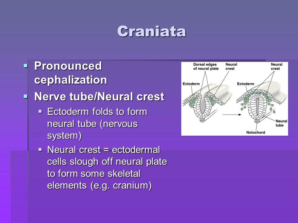 Craniata Pronounced cephalization Nerve tube/Neural crest
