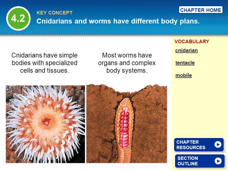 Cnidarians and worms have different body plans.