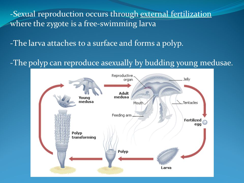 -Sexual reproduction occurs through external fertilization where the zygote is a free-swimming larva