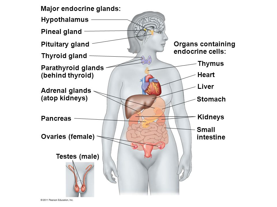 Major endocrine glands: