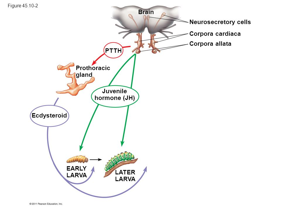 Brain Neurosecretory cells Corpora cardiaca Corpora allata PTTH