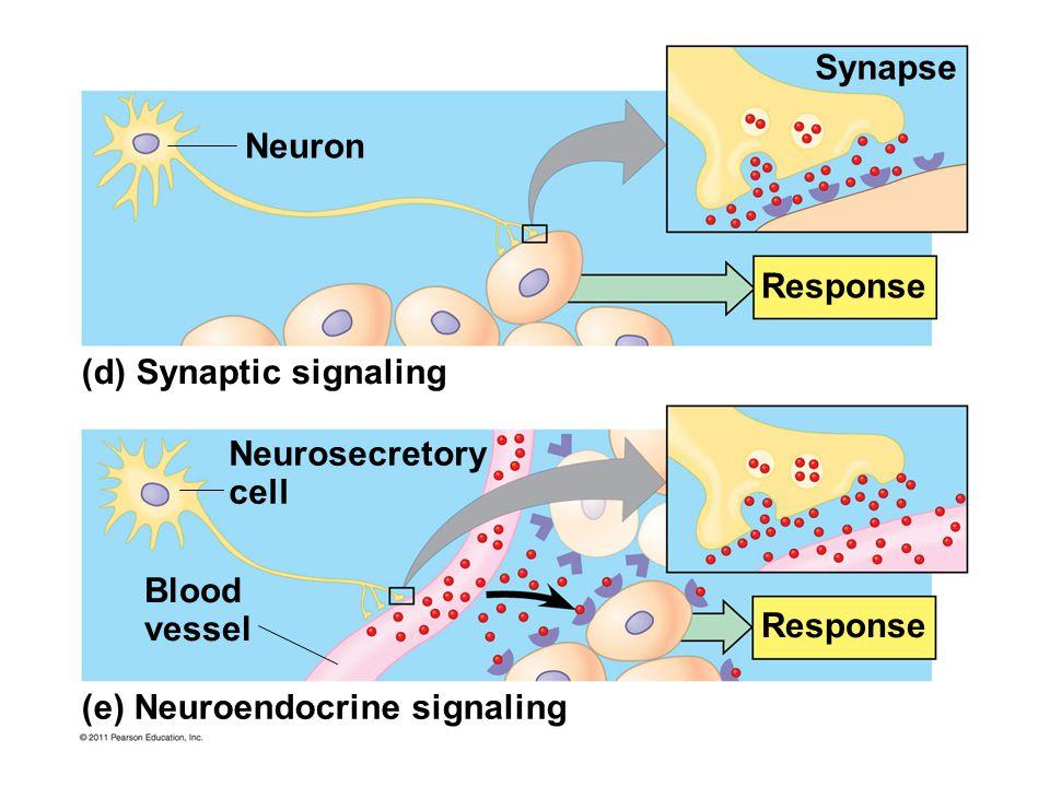 (d) Synaptic signaling