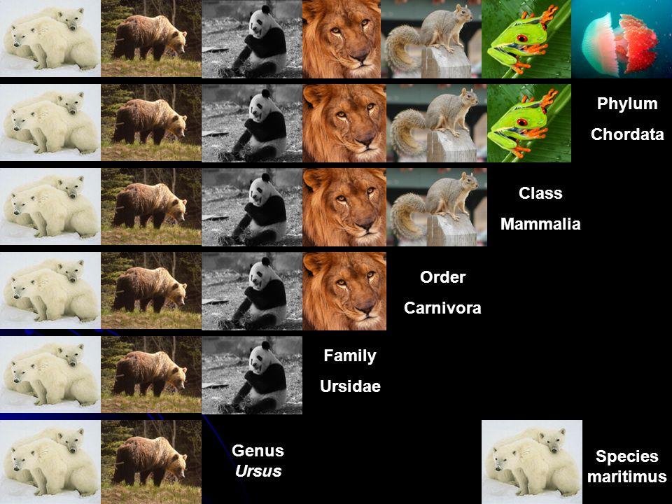 Phylum Chordata Class Mammalia Order Carnivora Family Ursidae Genus Ursus Species maritimus