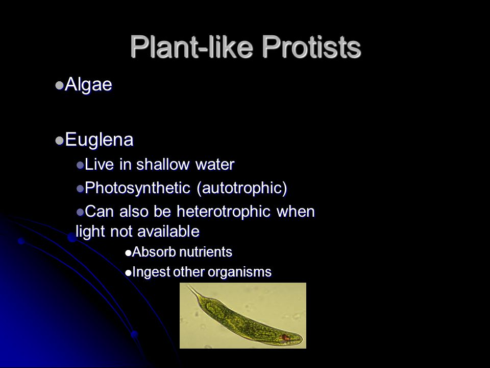 Plant-like Protists Algae Euglena Live in shallow water