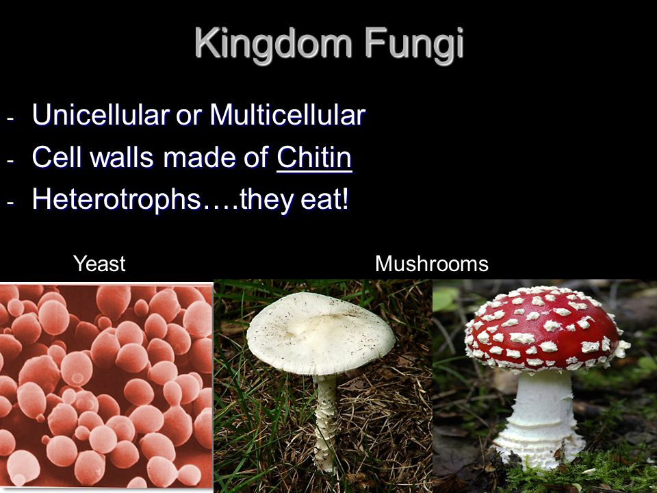 Kingdom Fungi Unicellular or Multicellular Cell walls made of Chitin