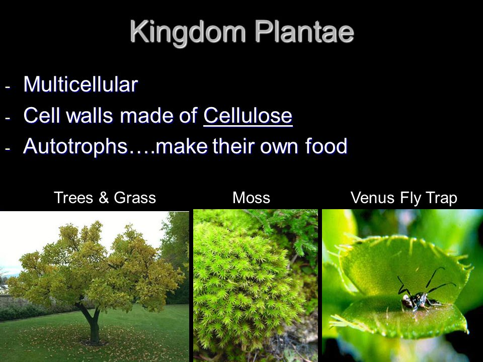 Kingdom Plantae Multicellular Cell walls made of Cellulose