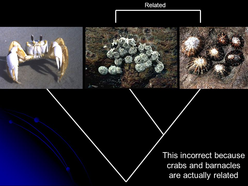 This incorrect because crabs and barnacles are actually related