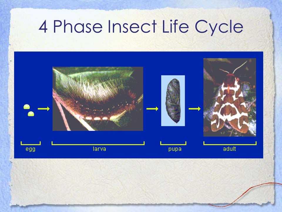 4 Phase Insect Life Cycle