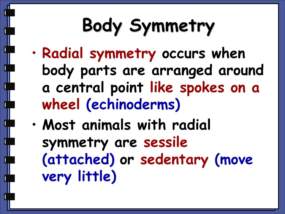 Body Symmetry Radial symmetry occurs when body parts are arranged around a central point like spokes on a wheel (echinoderms)