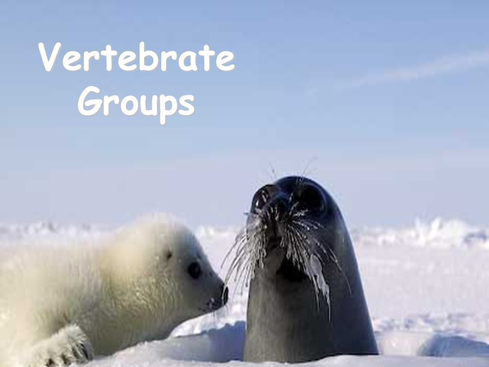 Vertebrate Groups copyright cmassengale