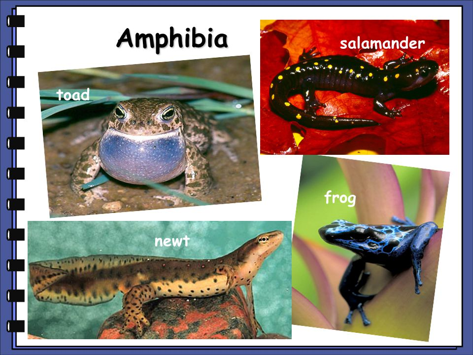 Amphibia salamander toad frog newt copyright cmassengale
