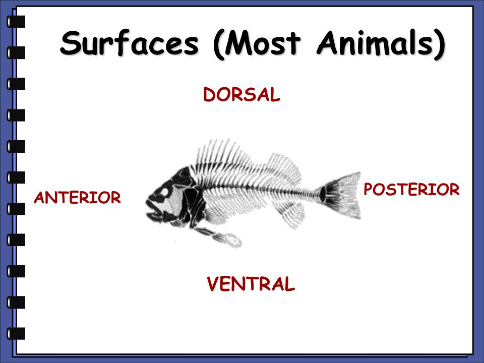 Surfaces (Most Animals)