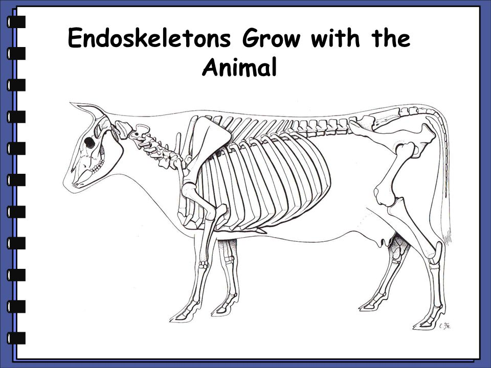 Endoskeletons Grow with the Animal
