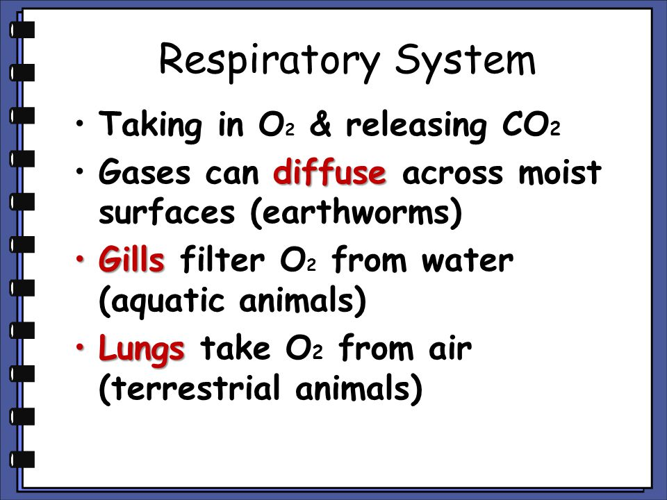Respiratory System Taking in O2 & releasing CO2